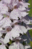 Heath Spotted Orchid Stock Photos