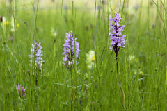 Heath spotted orchid Stock Image