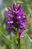 Heath Spotted Orchid Royalty Free Stock Images