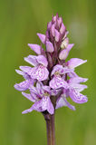 Heath Spotted Orchid Royalty Free Stock Image