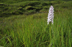 Heath Spotted Orchid Stock Photography