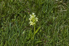 Heath Spotted Orchid eller Dactylorhizamaculatablomning i en naturträdgård royaltyfria foton