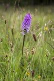 Heath Spotted Orchid i Skottland arkivfoton