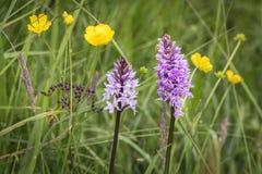 Heath Spotted Orchid i Skottland royaltyfri fotografi