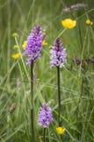 Heath Spotted Orchid i Skottland arkivbild
