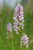 Heath spotted-orchid Stock Photos
