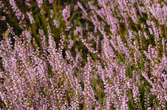Heather. Purple heathland blooming in autumn Stock Image