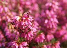Heather. Blossoming heather in the summer close up Stock Image