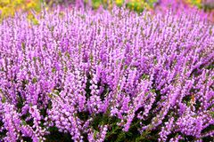 Heather. The Heather close up.  Natural flower background Stock Photos