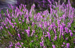 Heather. Pink heather in the close up view Royalty Free Stock Photos