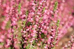 Heather. Nature background with Purple Heather (Calluna vulgaris) flowers close up Royalty Free Stock Photo
