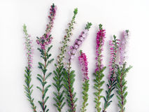 Heather. Autumns flowers, season's beauty border Royalty Free Stock Image