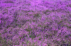 Heather. A field of pink heather Stock Photos