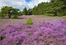 Heather. Pink heather landscape in a forest Stock Image