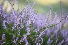 Heather. Autumn background - selective focus Royalty Free Stock Photos