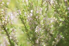 heather Stock Foto
