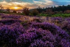 heather Fotos de Stock Royalty Free