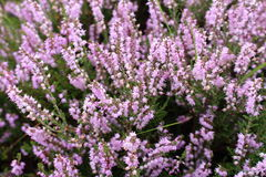 Heather. Abundant Lilac coloured flower spikes of an evergreen heather plants Royalty Free Stock Photo