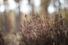 Heather on the background of trees. In morning wood Stock Photos