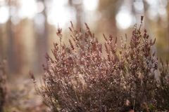 Heather on the background of trees. In morning wood Stock Images