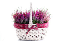 Heather. Basket full of heather - flowers and plants Stock Images