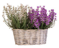 Heather in basket isolated on white Royalty Free Stock Photo