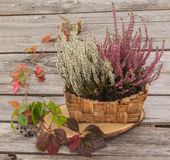 Heather in basket and virgin Royalty Free Stock Images
