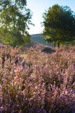 Heather in bloom. Pink Heater during the flowering period in August and Spetember Royalty Free Stock Photography