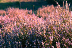 Heather in bloom Royalty Free Stock Photos