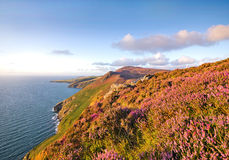 Heather in Bloom. Isle of Man Moorlands Royalty Free Stock Photos