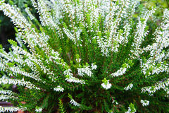 Heather Blooms White Fotos de Stock