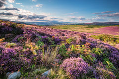 Heather and Bracken on Simonside Hills. Popular with walkers and hikers the Simonside Hills are covered with heather in late summer. they are part of Royalty Free Stock Photography