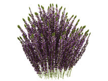 Heather_(Calluna) Royalty Free Stock Image