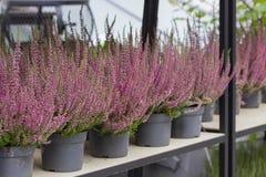 Heather Calluna di fioritura, negozio di fiore Fioritura vulgaris del Calluna vulgaris di Heather di piccoli fiori di rossi carmi fotografia stock libera da diritti