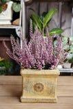 Heather (Calluna vulgaris) Stock Images