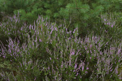 Heather, calluna vulgaris, blooming in forest. Forest vegetation, heather and pines, background Royalty Free Stock Image
