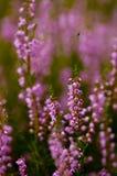 Heather Calluna vulgaris. Purple blur Heather Calluna vulgaris Royalty Free Stock Photo