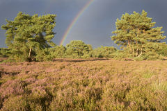 Heather (Calluna vulgaris) and rainbow. Stock Images