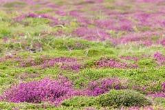 Heather carpet Stock Photos