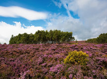 Heather Clad Hillside. A hillside near Hathersage, Derbyshire covered in heather during late August Stock Photography