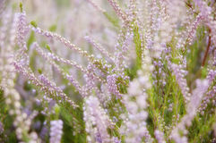 Heather. Close up in field Royalty Free Stock Images
