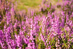Heather. Close up of heather in Lueneburg Heath in summer Royalty Free Stock Images