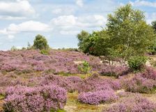 Heather covered heathland Stock Image