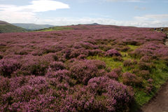 Heather-Covered Summer Landscape Royalty Free Stock Photo