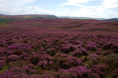 Heather-Covered Summer Landscape. A landscape in the Peak District near Sheffield, UK, covered in purple heather which can be seen towards the end of the summer Stock Photography