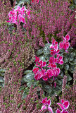 Heather and cyclamen  plants flowerbed Stock Images