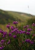 Heather. Detail on heather in Pentland Regional Park near Edinburgh, Scotland Royalty Free Stock Photo