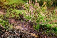 Heather di fioritura cespuglio sulla terra della foresta fotografie stock libere da diritti