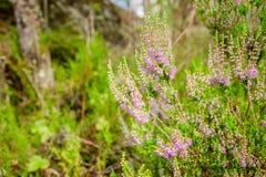 Heather di fioritura nella foresta di estate fotografia stock