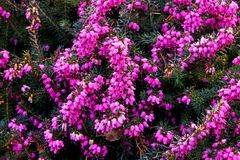 Heather erica herbacea. The background is made up of purple blooms of heather stock photo